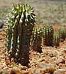 Hoodia_Cactus